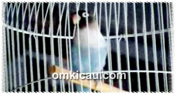 Lovebird Putri Mentaya, durasi ngekek lebih dari 40 detik.