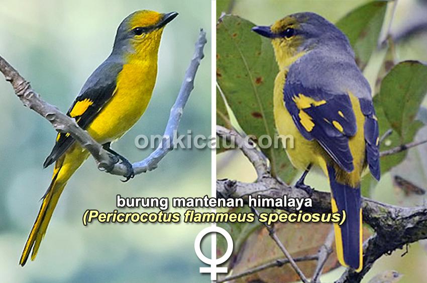 Burung mantenan himalaya (betina)
