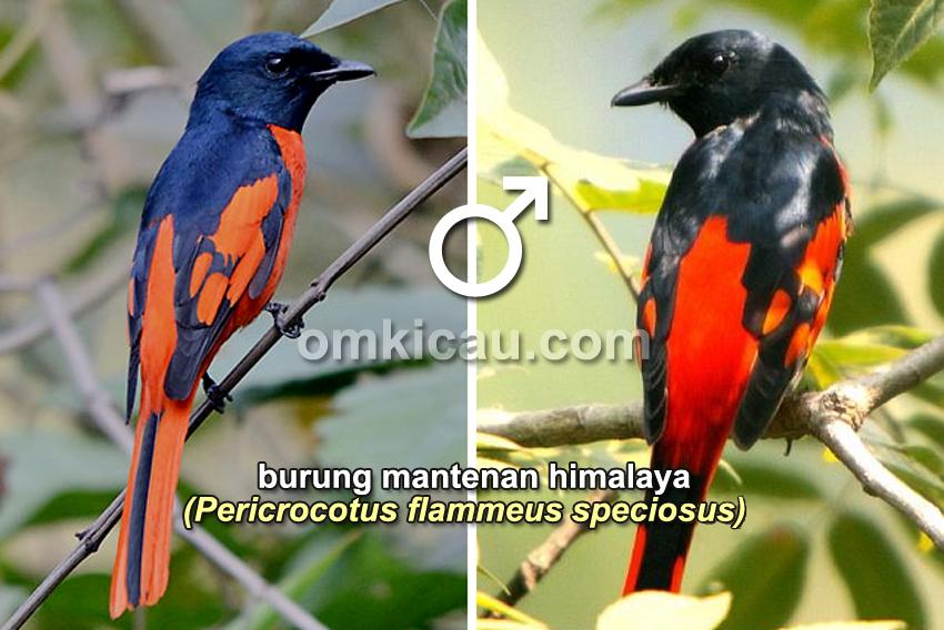 Burung mantenan himalaya (jantan)