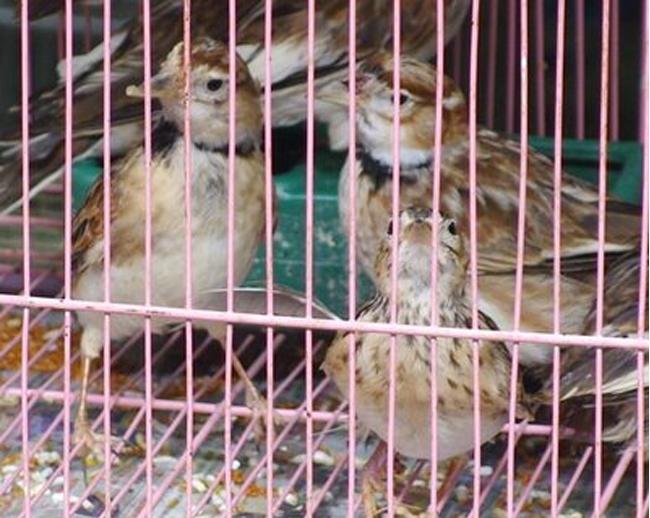 Burung pailing