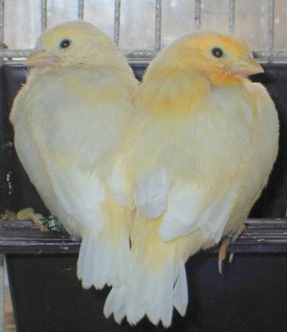 Burung betina dengan warna yang lebih pucat (kiri) dan burung jantan dengan warna muka yang lebih oranye (kanan)
