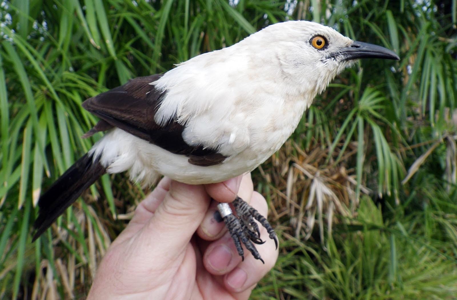 Burung pied babbler yang cantik dan anggun.