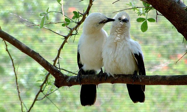 Kemesraan pasangan burung pied babbler berujung pada pemerasan oleh anaknya kelak.