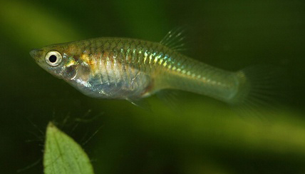 Ikan cere untuk burung kicauan