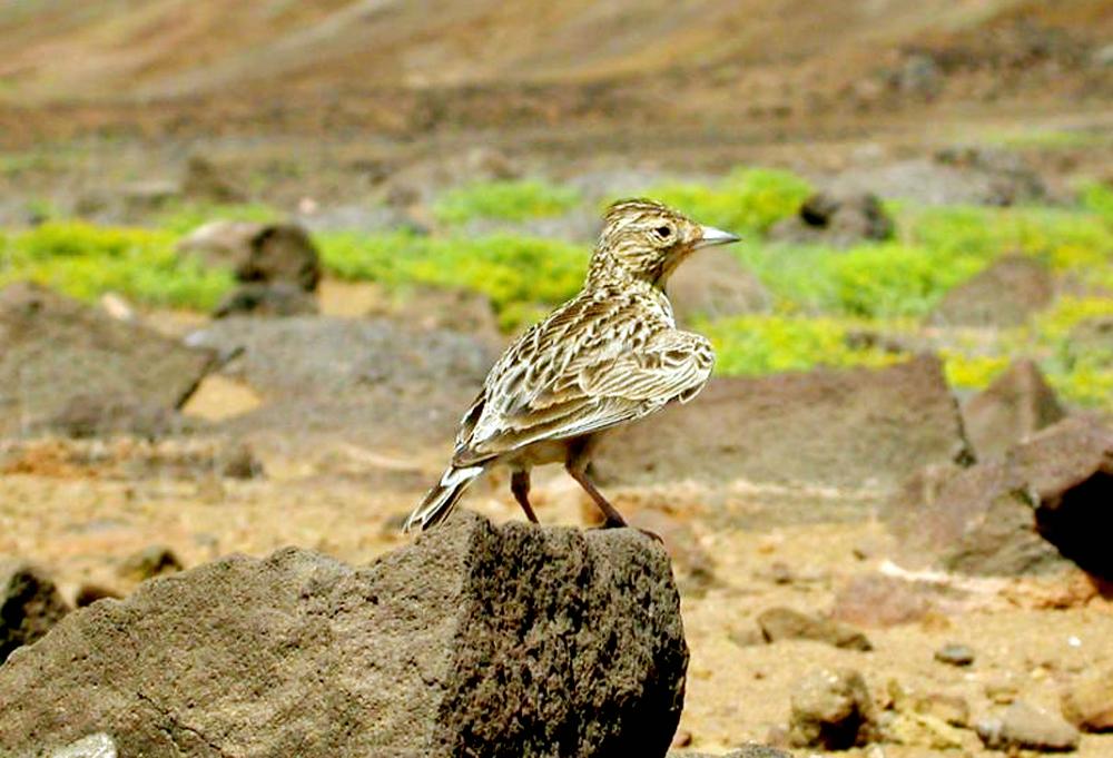Sanma raso (Alauda razae), burung endemik di Pulau Raso.