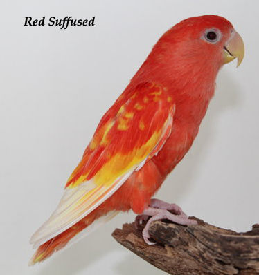 Lovebird blorok merah