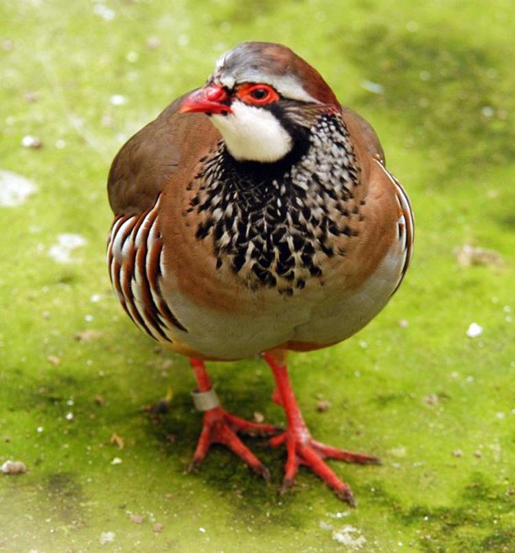 Partridge kaki merah (tampak depan)