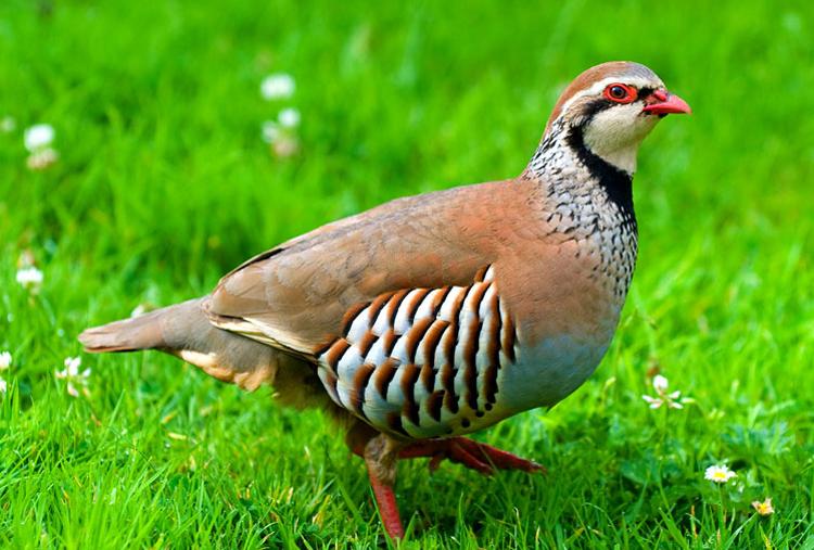 Partridge kaki merah (tampak samping)