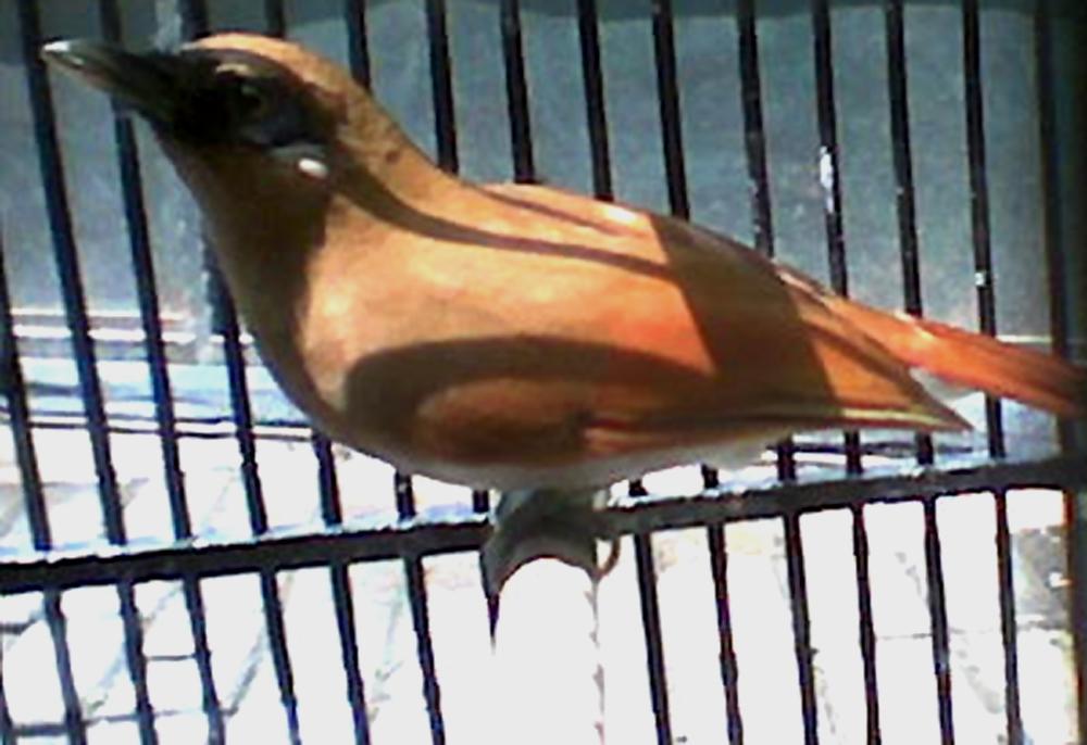 Burung samho atau sambo