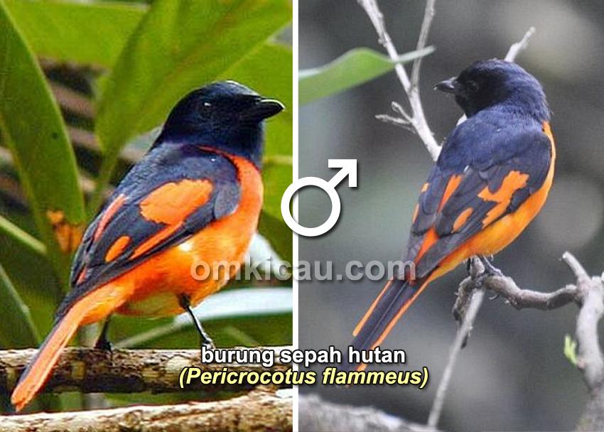 Burung sepah hutan (jantan)