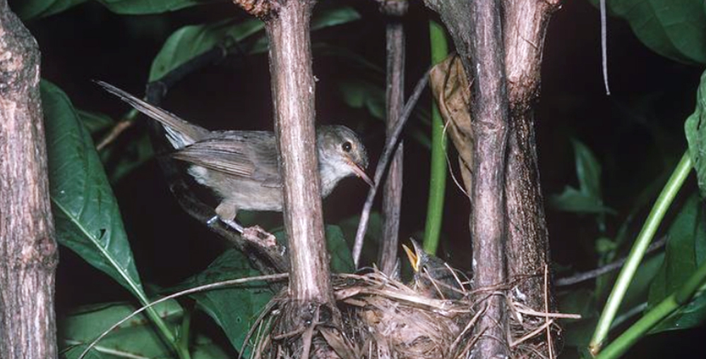 Seychelles warbler betina sedang mengasuh anak-anaknya.