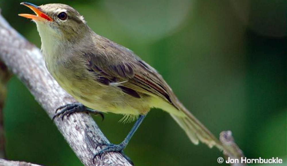 Burung seychelles warbler (Acrocephalus sechellensis).