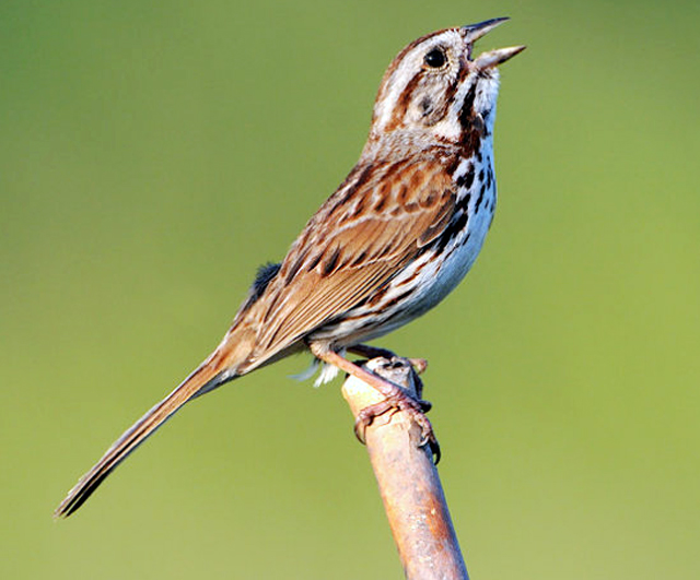 Song-sparrows (Melodia)