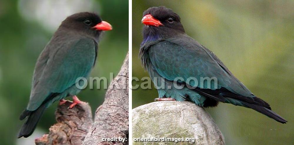 Burung tengkek buto atau tiong lampu biasa (Eurystomus orientalis)