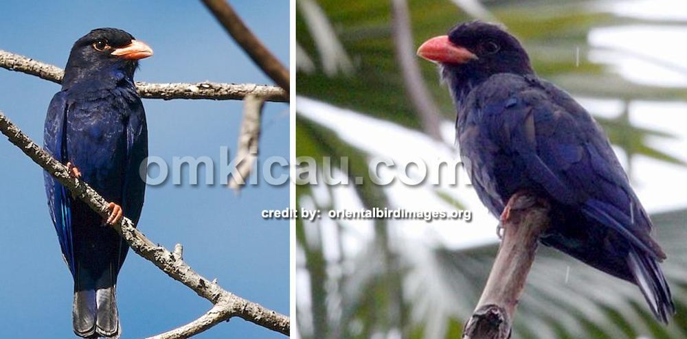 Tiong lampu ungu, burung endemik di Maluku Utara.
