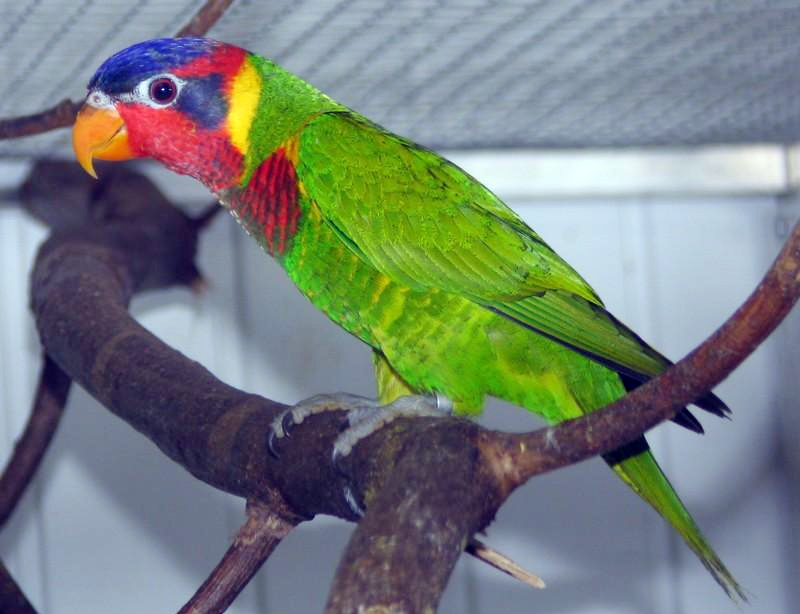 Burung perkici dora atau kasturi sulawesi (Trichoglossus ornatus).