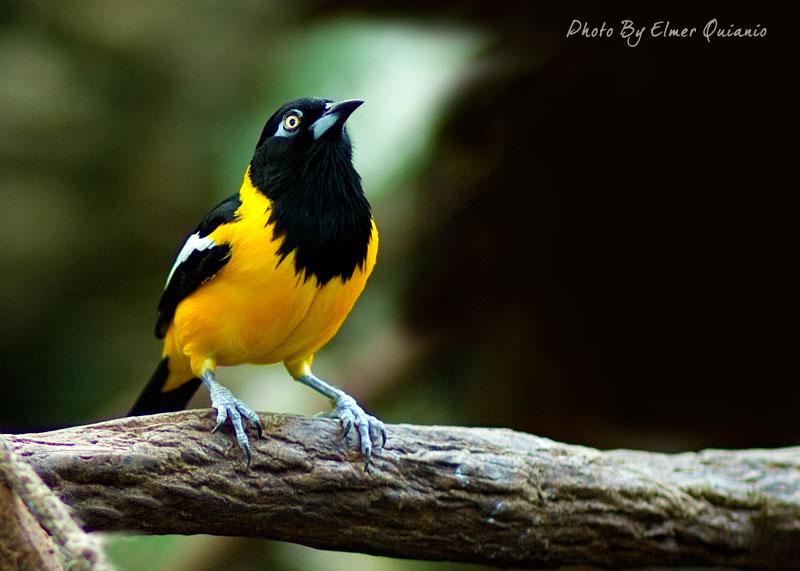 Burung turpial venezuela atau kepodang turpial ( Icterus icterus )