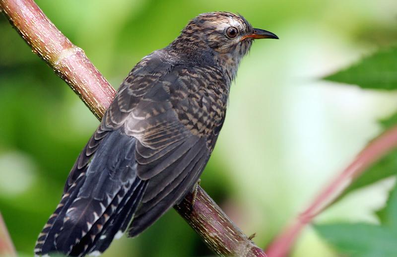 Burung wiwik uncuing atau kedasih yang sering dihindari kicaumania.