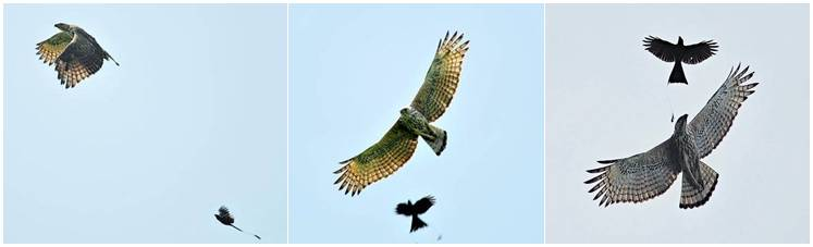 Burung srignting yang menyerang elang ( foto:besgroup.org )
