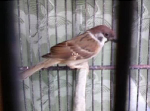 Burung gereja yang sudah jinak dan gacor bisa berharga ratusan ribu rupiah