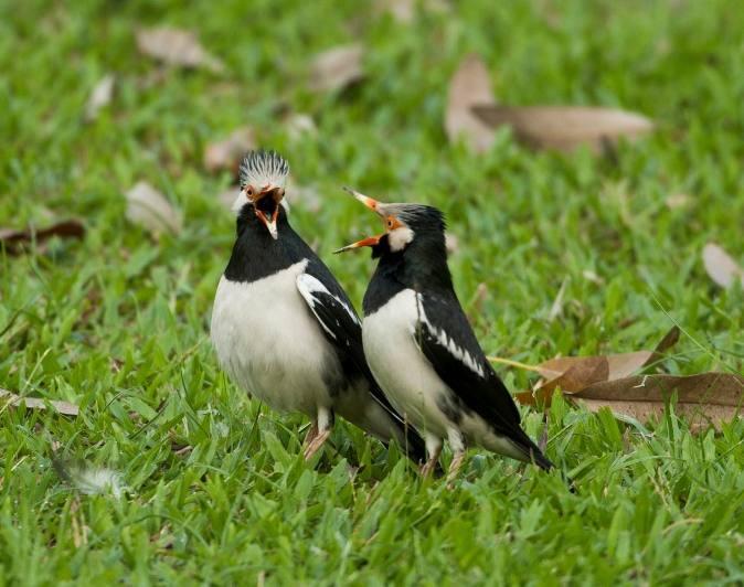 Giras dan liar sudah menjadi karakter burung jalak suren kalimantan ini karena mereka kebanyakan didapatkan dari hasil tangkapan hutan.