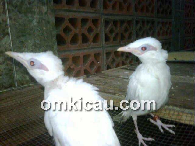 jalak bali albino