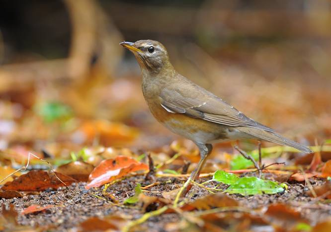 Eye-browed Thrush (Turdus obscurus)