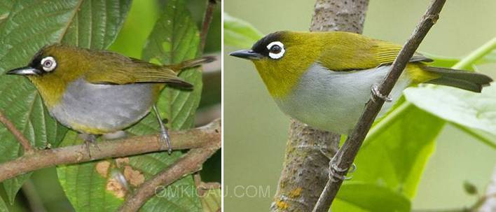 BLACK-CAPPED WHITE EYE ( KIRI ) DAN BLACK-CROWNED WHITE EYE ( KANAN )