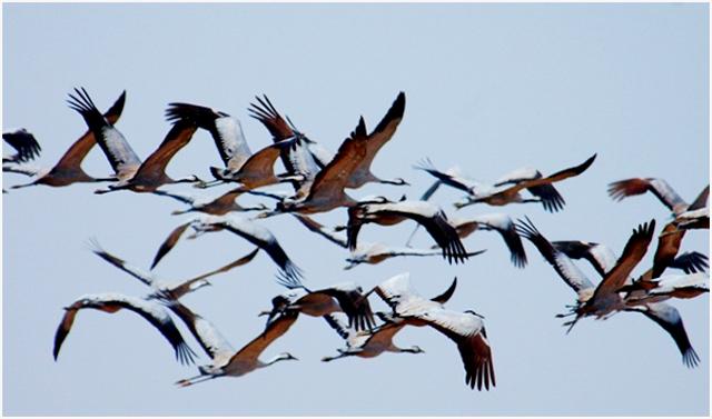 Rombongan burung migran yang menempuh ribuan kilometer tiap tahun. (Foto: Jussi Mononen / worldmigratorybirdday.org)