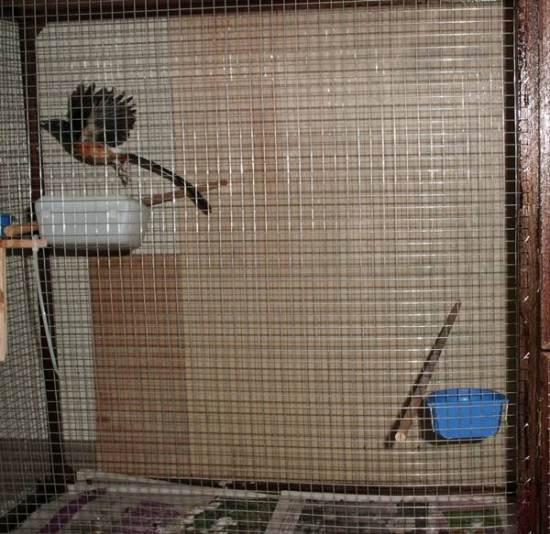 Melatih burung di kandang aviary