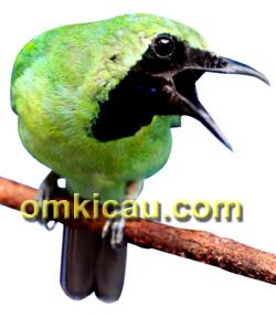 fenomena burung cucak hijau