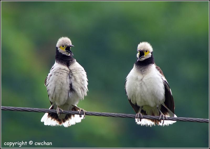 Butuh perhatian ekstra jika ingin menangkarkan burung sejenis jalak hongkong