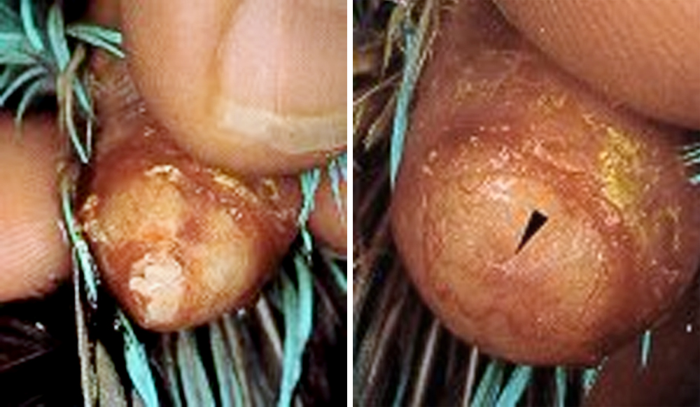 Perlu pelumasan untuk mengatasi telur yang lengket di oviduct.