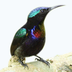 feat-burung-madu