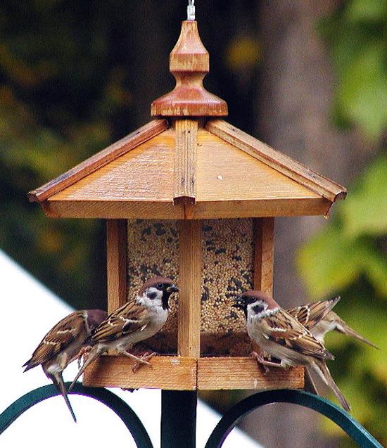 burung gereja makan di feeder