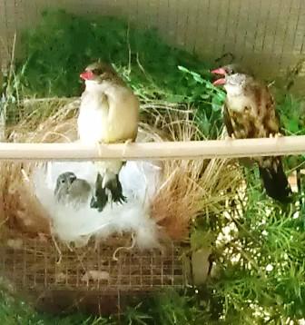 Burung stroberi muda