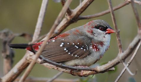 Burung jantan memiliki corak bulu yang sama dengan betina pada saat diluar masa kawinnya