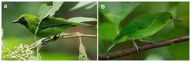 Perbedaan burung cucak ijo jantan (a) dan betina (b)