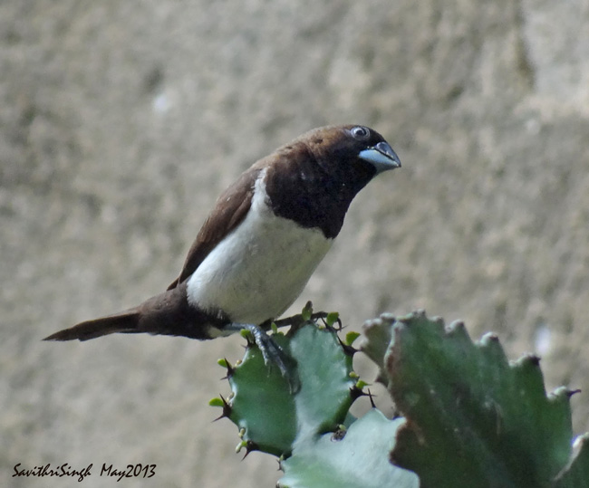 Bondol Jawa : burung hama yang banyak dijual untuk anak-anak dan pakan burung