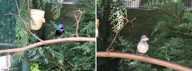Burung madu jantan (kiri) dan burung madu betina disebelah kanan