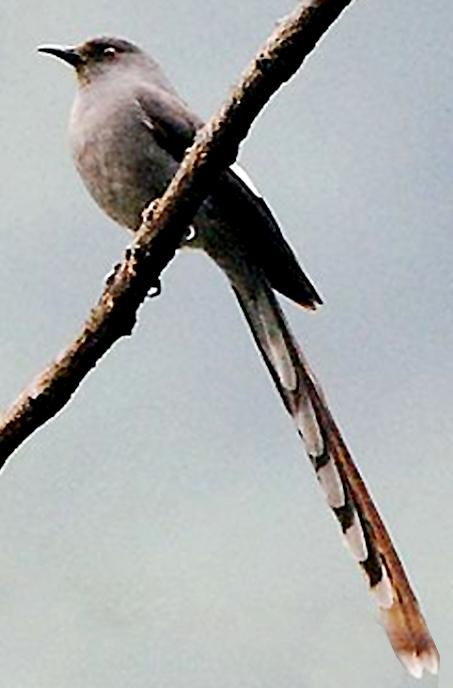 murai air / long-tailed sibia
