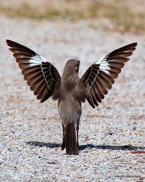 Kebiasaan unik burung mockingbird