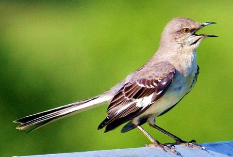 Burung pintar yang memiliki lebih dari 200 nyanyian