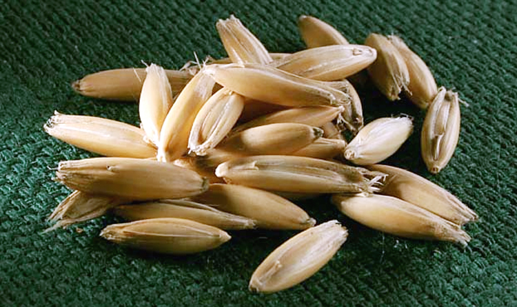Biji oat / haver kini makin popular di kalangan penangkar burung.