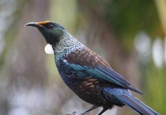 Burung cerdas yang bisa dilatih bicara dengan sangat fasih