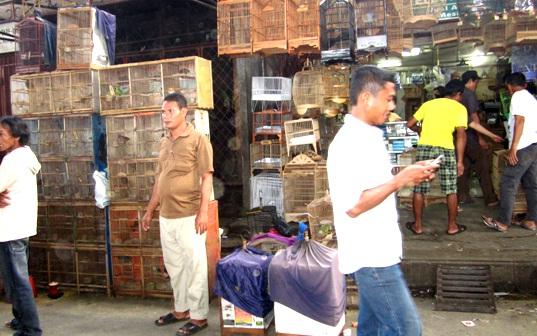 Teliti sebelum membeli burung trotolan di pasar burung | foto sumber google