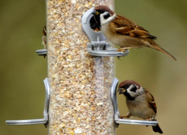 breeding burung gereja