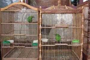 Mejodohkan burung dengan cara menempelkan sangkar mereka selama beberapa hari