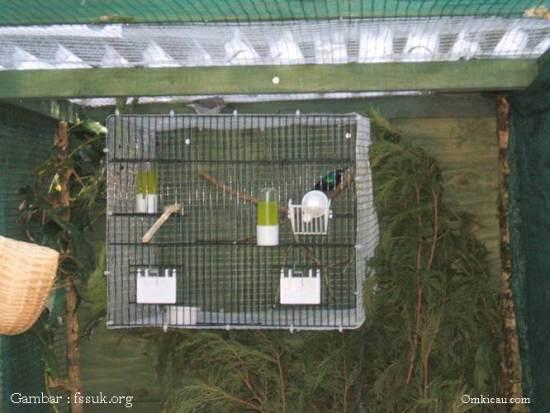 Sangkar berisi burung jantan dimasukan kedalam kandang penangkaran, seperti yang dilakukan dalam menjodohkan burung madu disini