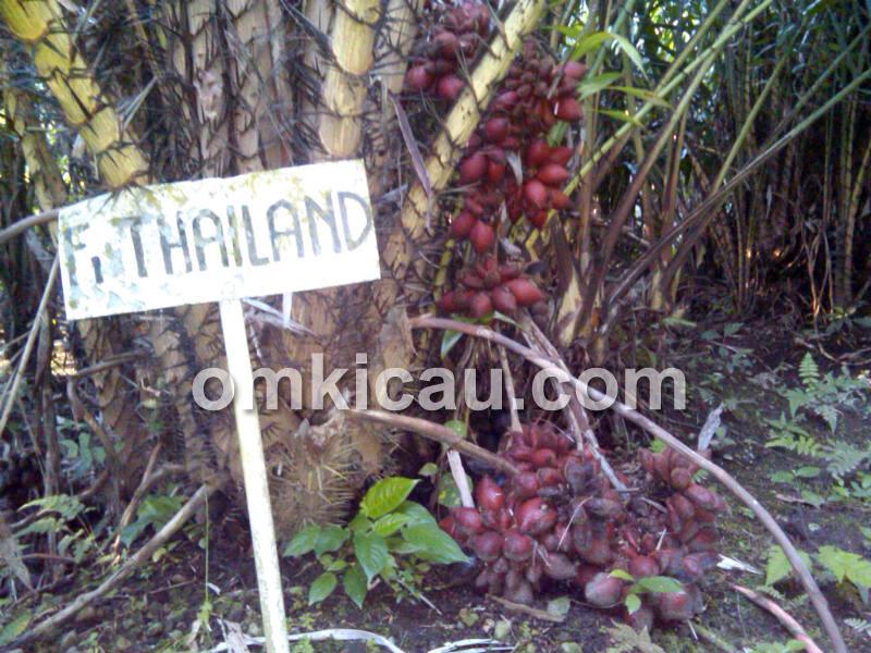 salak thailand
